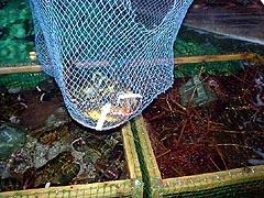 オマール海老の引っ掛け釣り